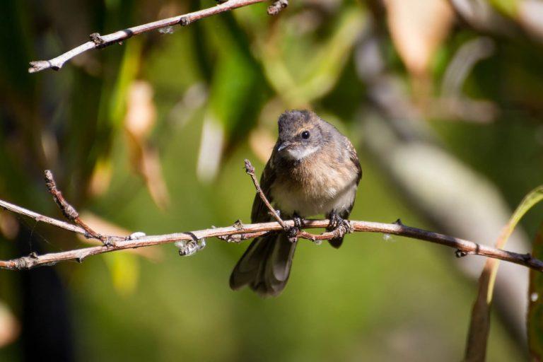 garden bird at henty lodge ferguson valley