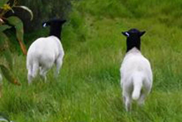 2 sheep in paddock henty lodge ferguson valley