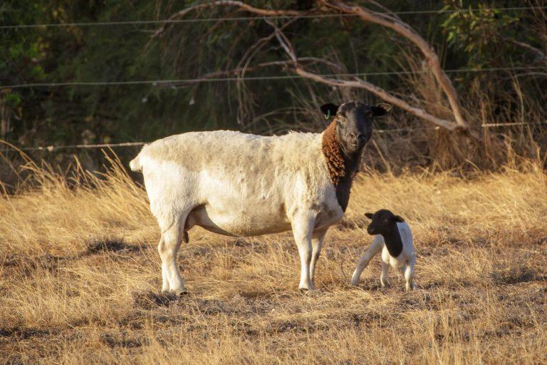 2 sheep in paddock henty lodge ferguson valley