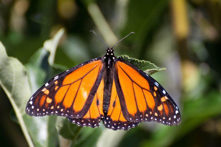 monarch butterfly henty lodge ferguson valley